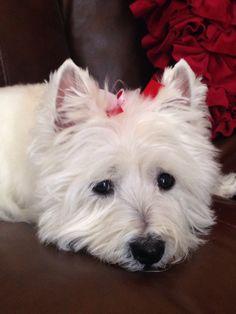 West Highland Terrier- Maggie