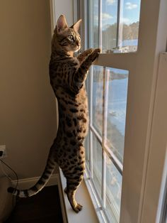 Post with 84 votes and 3115 views. Tagged with cat, aww, savannah cat; Shared by My Savannah cat checking out the snow! I Love Cats, Cool Cats, Exotic Cats, Cat Stands, Serval, Lots Of Cats, Cat Facts, Cat Drawing, Cat Life