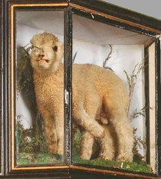 Victorian freak,namely a 6 legged lamb.