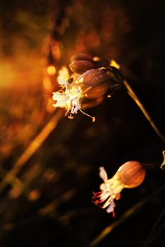 ♀ Bokeh photography flowers golden sunlight Hi! by ~Piscisvolantis