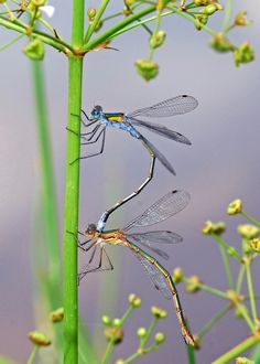 synchronized dragonfly dancing :D