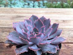 Echeveria shaviana 'Pink Frills' (Pink Frills Echerveria) is a succulent plant up to 8 inches (20 cm) tall, that forms a central rosette... #echeveria #succulentopedia #succulents #CactiAndSucculents #WorldOfSucculents #SucculentLove #succulent #SucculentPlant #SucculentPlants #succulentmania #SucculentLover #SucculentObsession #SucculentCollection #plant #plants #SucculentGarden #garden #DesertPlants #nature
