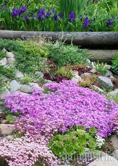 Kivikko lisää puutarhan mahdollisuuksia. Paahteisen kivikon kasveiksi kannattaa valita kuivuutta sietäviä lajeja. Kylmät sävyt ovat kuin kotonaan kivien seassa. www.kotipuutarha.fi