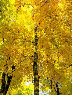 Yellow Maple [OC] [2736x3648]