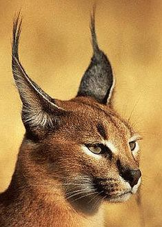 Once considered to be a type of lynx (hence its formerly being known as a Persian Lynx, an Egyptian Lynx, or an African Lynx), the extremely territorial Caracal is actually a small cat, with a length of 26 to 35 inches and a weight of 29 to 40 lbs. The caracal's fur ranges from red-grey to sandy to black, and its look is very distinctive thanks to its elongated, tufted black ears.