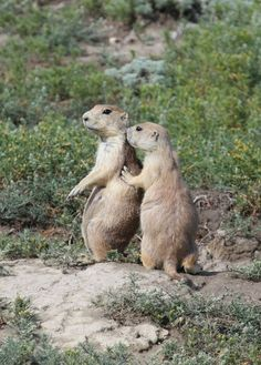 """REPORT: Prairie Dogs Are Lousy Secret Keepers  According to new research from Pepperdine University, prairie dogs are among the worst at keeping secrets in the entire animal kingdom. The species topped the list of most loose-lipped animals.  """"Prairie dogs are loquacious by nature,"""" said study author Dr. Greg Papprikash. """"They love to gossip and they can't help trading juicy bits of information. As a result, they're really crummy at keeping confidences.""""  Also in"""