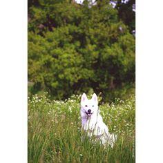 Over exposed   #outdoors #nature #love #siberianhusky #pomeranian #husky #blueeye #dog #puppy #instadog #instapuppy #dogsofinstagram #puppiesofinstagram #dogoftheday #dogsofinstaworld #dogstagram #lacyandpaws #dogsync #cuddleclones #grettasrandomwednesday #thehuskylove #DogsandPals by milanesa.sosa