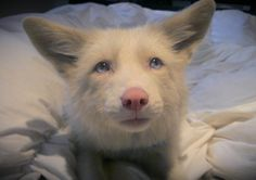 Post with 129 votes and 13284 views. Shared by Miko, the pink champagne fox Pink Champagne Fox, Baby Animals, Cute Animals, Wild Animals Photos, African Wild Dog, Pet Fox, Wild Dogs, Cute Creatures, Animal Photography