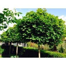Bolesdoorn (Acer Platanoides Globosum) - deBomenshop.nl Bomen kopen online shop