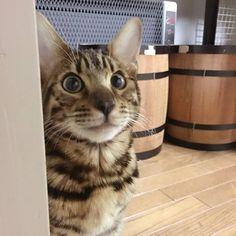 I'm not the one who did it.  I'm innocent.  #cat #catsofinstagram #cats #catstagram #instacat #catlover #catoftheday #bengal #bengalcat #oz #ねこ #猫 #ねこ部 #ねこすたぐらむ #猫部