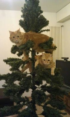 Christmas ~ Cats climb the Christmas tree Animal Gato, Amor Animal, Funny Cats, Funny Animals, Cute Animals, Funny Minion, Animal Memes, Christmas Cats, Christmas Tree Ornaments
