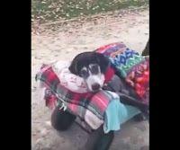 """""""O Grito do Bicho"""": Cão velhinho é levado para passear em carrinho esp..."""