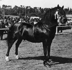 North Forks Black Earl Welsh Cob; NEBO BLACK MAGIC, blk. H, 1962 by PENTRE EIDDWEN COMET ex TYNGWNDWN MATHRAFAL LADY