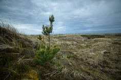 Pine in Lyngby Thy part of Nationalpark Thy Denmark, Pine, My Photos, Mountains, Landscape, Places, Nature, Travel, Furniture