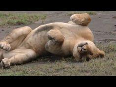 Tanzania. Serengeti. Migration. One and a half million of antelopes are ...