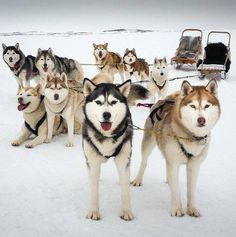 Come and experience how much we love to pull a sled, on snow in the Winter, and on our special off road wheel carts in summer.   You are always welcome to come and visit our dogs at the kennel and give belly rubs, meet our pups and learn about dog sledding in Iceland. North Iceland, Tours In Iceland, Sled, Pup, Winter, Dogs, Summer, Lead Sled, Winter Time