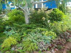 Perennial planting under tree, hosta's, goats beard, coral bells, ferns, forest grass, ladies mantel, solomon's seal, bell flower, sweet woodruff, juniper and hydrangea by Candace Carter