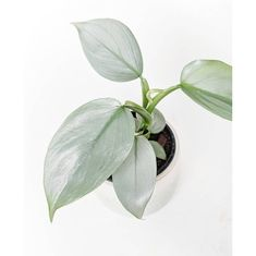 Fun And Eco-Helpful Solutions To Remodel Your Yard Philodendron Silver Sword Available Soon By Blushingvines The Giveaway Winners Have Been Annouched In Our Story Unusual Plants, Rare Plants, Cool Plants, House Plants Decor, Plant Decor, Exotic House Plants, Plants Delivered, Cactus Y Suculentas, Foliage Plants