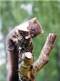 Pine Marten seen on our Speyside Wildlife Watching holiday.