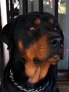 Beautiful Rott face :), looks just like my Heidi