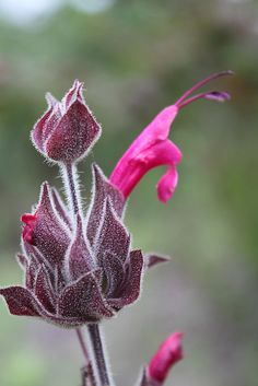 Salvia spathacea / Hummingbird sage. Another California native for the yard