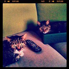 """Mom! #Stella no wanna git owt, iz mai tern nao!"" #ifitfitsisits #SimonAndStellaCats #Stella #Simon #cats #cat #kitty #kitties #kitteh #kittehs #gato #gatos #monkeybuns #furpig #neko"