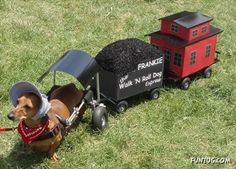 Frankie the Walk 'N Roll Dog ~ choo-choo train costume for a Dachshund in a pet wheelchair Chien Halloween, Happy Halloween, Dog Halloween Costumes, Pet Costumes, Costume Ideas, Halloween Train, Candy Costumes, Witch Costumes, Costume Contest