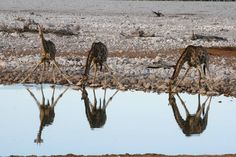 """Amazing Namibia  . """"A giraffe is so much a lady that one refrains from thinking of her legs but remembers her as floating over the plains in long garb draperies of morning mist her mirage."""" Isak Dinesen . #traveling #viaggio #traveltheworld #liveauthentic #travelblog #travelblogger #blogdiviaggi #iamtb #travelgirl #traveler#mytravelgram #travelwriter #lifeofadventure #goexploring #instatravel #aroundtheworld #exploretheworld #igtravel #picoftheday #follow #wanderlust #neverstopexploring…"""