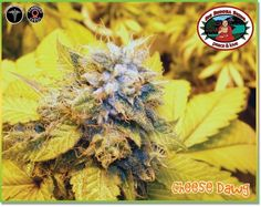 Cheese Dawg Feminised Seeds by the cannabis breeder Big Buddha Seeds, is a Photoperiod Feminised marijuana strain.This Feminised seed grows well in Indoors, Outdoors conditions. Additionally it can be expected to grow into a Medium plant reaching Medium.This strain has Chemdawg 91 x Big Buddha Cheese (Reversed) Genetics. The CBD content of the strain is Unknown.