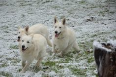 Trio dogs white swiss shepherds playing sibblings WSS