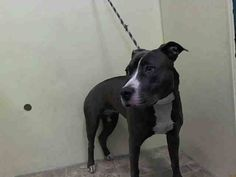 Manhattan Center    NINOSKA - A1008421   *** AVERAGE HOME ***   FEMALE, GRAY / WHITE, PIT BULL MIX, 2 yrs  STRAY - STRAY WAIT, NO HOLD  Reason STRAY   Intake condition INJ MINOR Intake Date 07/28/2014, From NY 10455, DueOut Date 07/31/2014  https://www.facebook.com/Urgentdeathrowdogs/photos/a.617938651552351.1073741868.152876678058553/847868851892662/?type=3&permPage=1