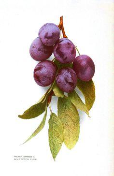 Botanical - Fruit - Plum - Photo