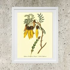 SALE Wall Art  Poster Download  Vintage Botanic by DigitalBanana Winged - Podded Sophora