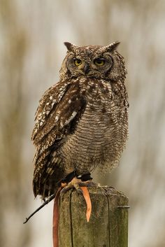 African Spotted Eagle Owl by Natalie's Photographs, via Flickr
