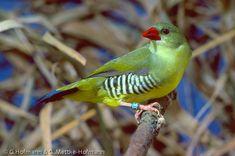 bengali-vert - les-animaux-du-monde