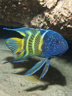 Eastern Blue Devil - Paraplesiops bleekeri by regina fernanda camara - .-- Eastern Blue Devil – Paraplesiops bleekeri by regina fernanda camara – Underwater Creatures, Underwater Life, Ocean Creatures, Cool Sea Creatures, Beautiful Sea Creatures, Animals Beautiful, Colorful Fish, Tropical Fish, Fauna Marina