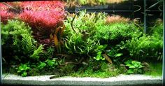 How to successfully grow an aquarium plants...Freshwater aquarium plants are a great addition to your aquarium . It gives your aquarium a natural look,oxygenate the water and provide habitat for your fish along with other benefits. Not only are they pleasing to the eyes, but they also aid in maintaining a good chemical balance for the water in your aquarium...(continue reading please visit www.freeavuenues.com)