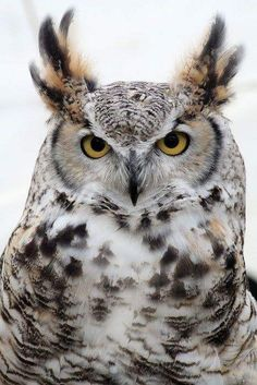 Great Horned Owl at The Sherburne Refuge by Christopher Franklin on Capture Minn. - Great Horned Owl at The Sherburne Refuge by Christopher Franklin on Capture Minnesota Owl Photos, Owl Pictures, Owl Bird, Bird Art, Beautiful Owl, Animals Beautiful, Owl Artwork, Owl Eyes, Great Horned Owl