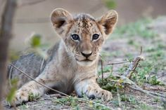 African lion cub in South Luangwa National Park, Zambia.