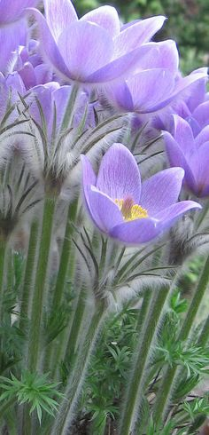 Pulsatilla vulgaris - Flowers found in the middle of a garden in Vienna, Austria - Flickr - Photo Sharing!