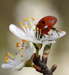 Ladybird taking time to smell the flowers...