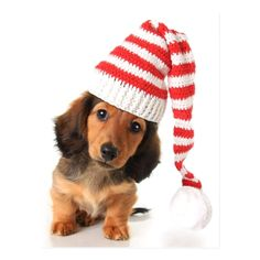 Longhair dachshund puppy wearing a Christmas Santa hat. and Bigstock All Rights Reserved. Dachshund Facts, Dachshund Quotes, Dachshund Funny, Dapple Dachshund, Long Haired Dachshund, Mini Dachshund, Dachshund Puppies, Weenie Dogs, Chihuahua