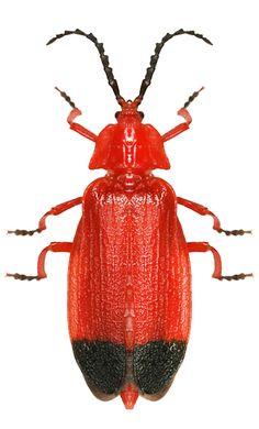 Lycus sanguineus