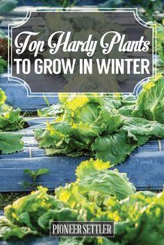 Top Hardy Plants to Grow in Winter Hydroponic Gardening, Gardening Tips, Organic Gardening, Aquaponics, Urban Gardening, Indoor Gardening, Vegetable Gardening, Homestead Gardens, Farm Gardens