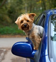 Many dogs have very strong feelings about car rides. Some dogs get so excited to be in a car, they can't stand themselves. Other dogs, however, hate the car and will fight tooth and nail to avoid getting in. The behavior you want is for your dog to be pleasantly excited. Read my blog on tips to help your dog become a comfortable traveling companion.