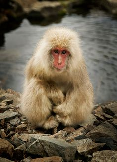 Baby Japanese snow monkey #Wild #Animals #Mammals
