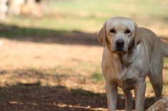 Megghie di San Nicolo end Labrador Retriever, San, Dogs, Animals, Labrador Retrievers, Animales, Animaux, Doggies, Animais