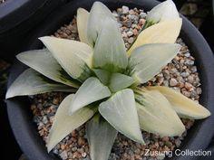 Haworthia 'Blue Pygmaea' variegated