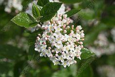Encyklopedia drzewViburnum ×burkwoodii - Kalina Burkwooda