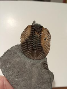 Twitter / Clarkeocrinus: Eldredgeops trilobite from ...
